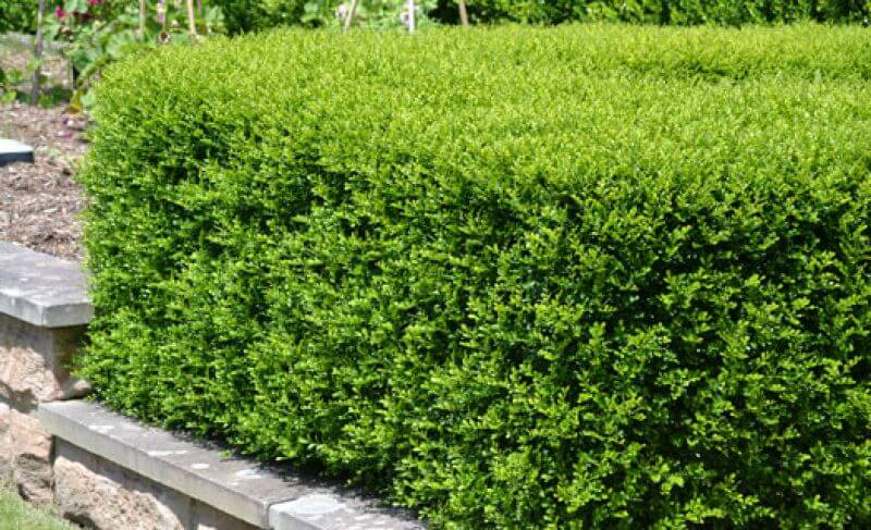 Hedges and screening plants in a range of growth heights from 30 cm to 5 metres plus tall